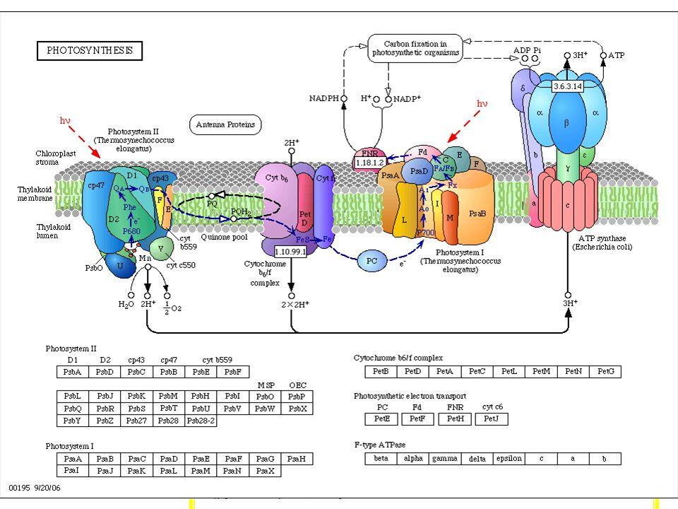 clorofila carotenosxantofilas clorofilas FOTOSISTEMASLa luz es absorbida por la clorofila y otros pigmentos (carotenos, xantofilas…). Las clorofilas e