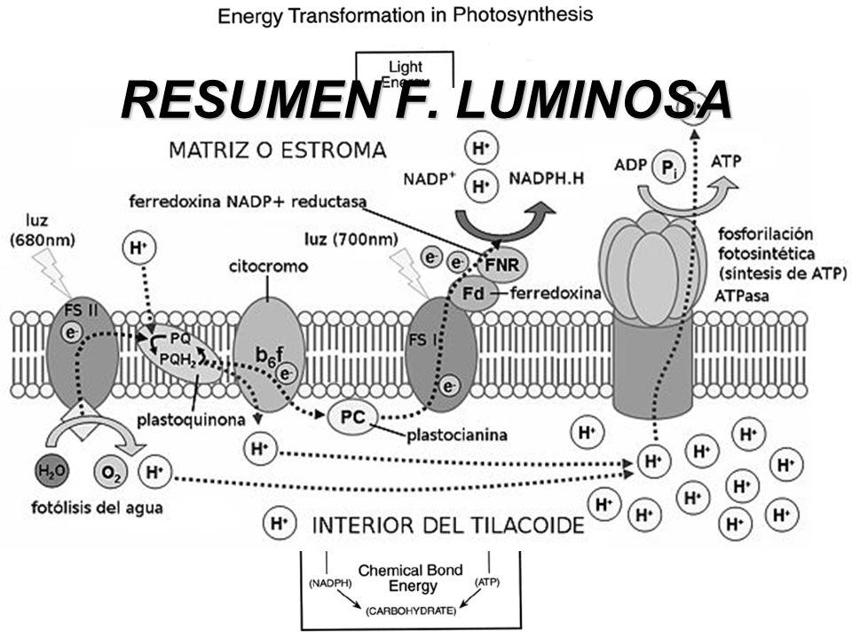 RESUMEN F. LUMINOSA