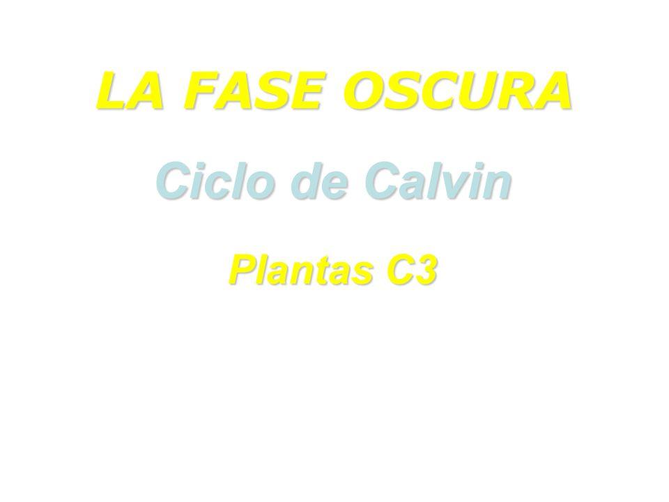 LA FASE OSCURA Ciclo de Calvin Plantas C3