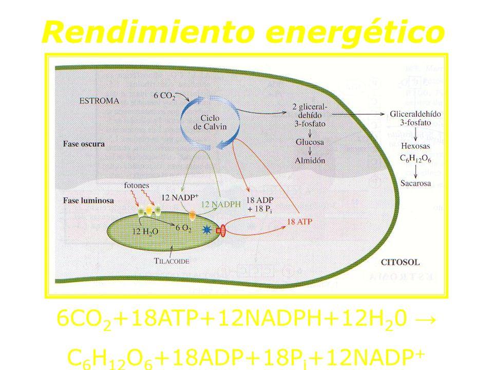 Rendimiento energético 6CO 2 +18ATP+12NADPH+12H 2 0 C 6 H 12 O 6 +18ADP+18P i +12NADP +