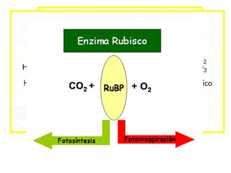 Fotorrespiración ribulosa bifosfato carboxilasa oxidasa La enzima ribulosa bifosfato carboxilasa oxidasa puede actuar de 2 maneras: CO 2 en presencia