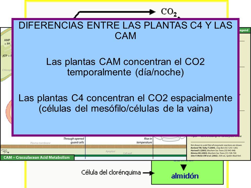 Plantas CAM CRASSULACEAN ACID METABOLISM PLANTAS SUCULENTAS DIFERENCIAS ENTRE LAS PLANTAS C4 Y LAS CAM Las plantas CAM concentran el CO2 temporalmente
