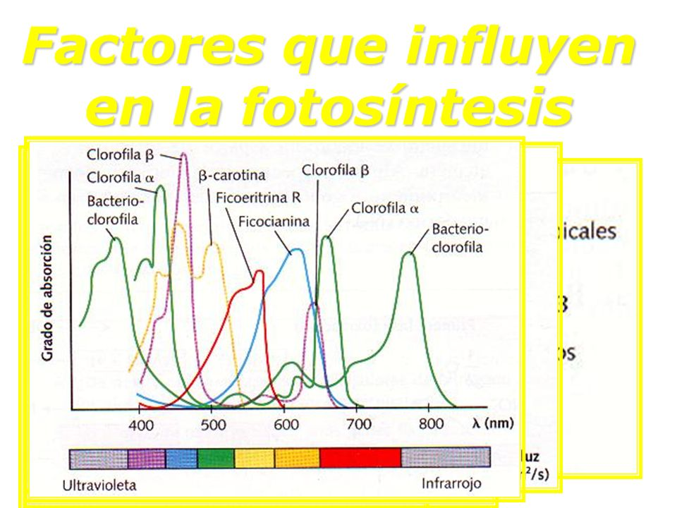 Factores que influyen en la fotosíntesis Temperatura Temperatura [CO 2 ] [CO 2 ] [O 2 ] [O 2 ] Intensidad luminosa Intensidad luminosa Color de la luz