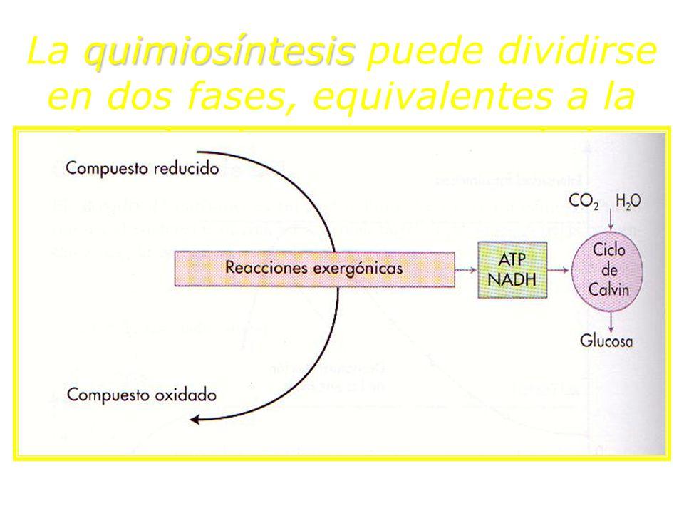 quimiosíntesis fotosíntesis La quimiosíntesis puede dividirse en dos fases, equivalentes a la fase luminosa y oscura de la fotosíntesis: ATPNADPHObten