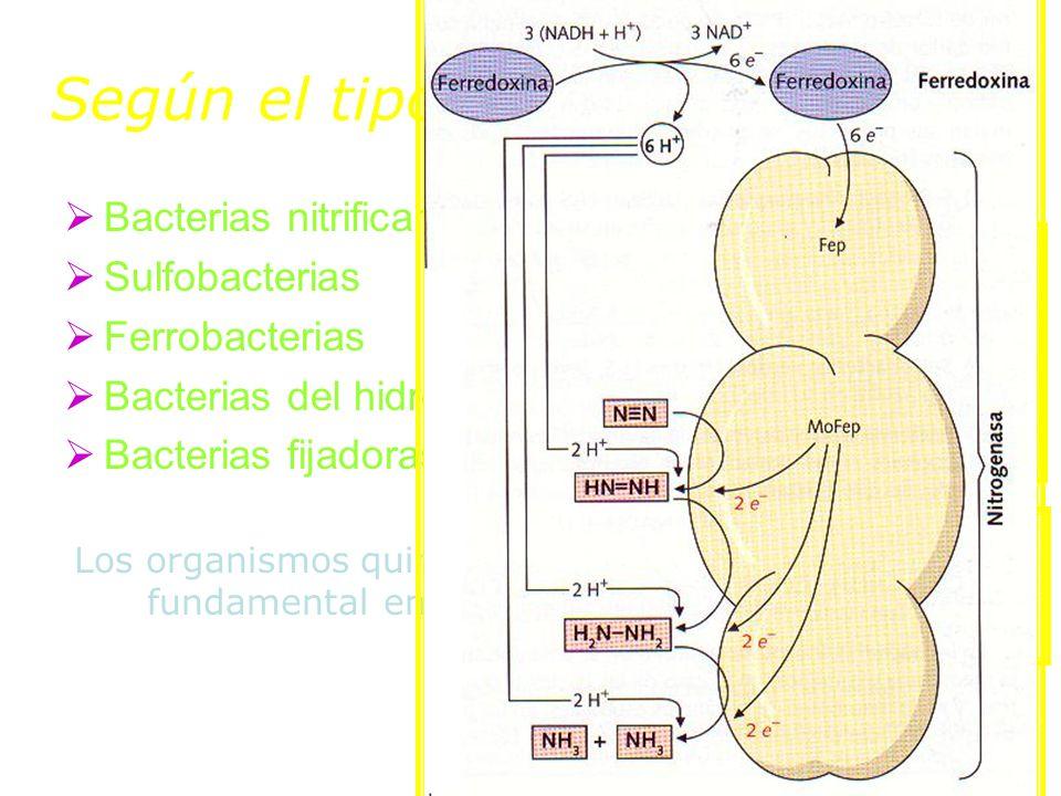 Según el tipo de comp reducido: Bacterias nitrificantes Sulfobacterias Ferrobacterias Bacterias del hidrógeno, del metano… Bacterias fijadoras del nit