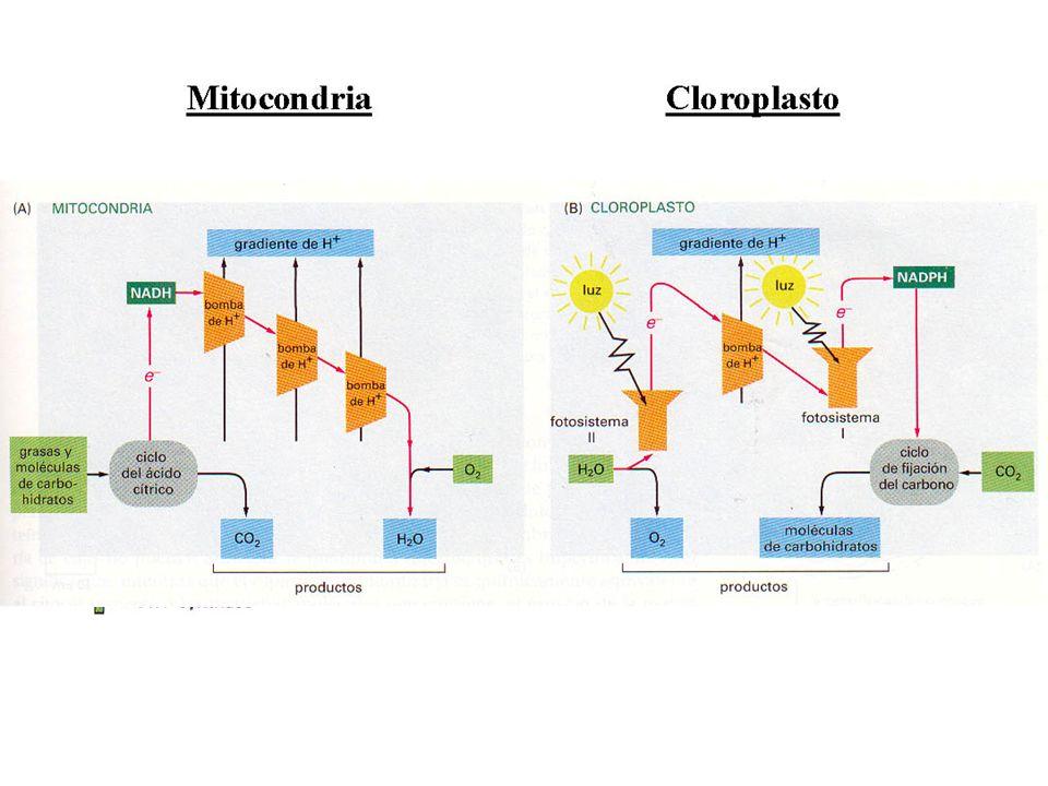 Fase luminosa ¿cómo conseguimos fabricar ATP y NADPH? Transporte de electrones Bombeo de protones