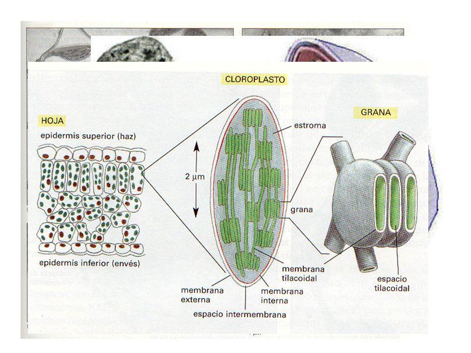 RUBISCO eucariotas 8 dímeros: gris-blanco subunidades grandes, azul-rojo subunidades pequeñas RUBISCO procariotas 2 dímeros