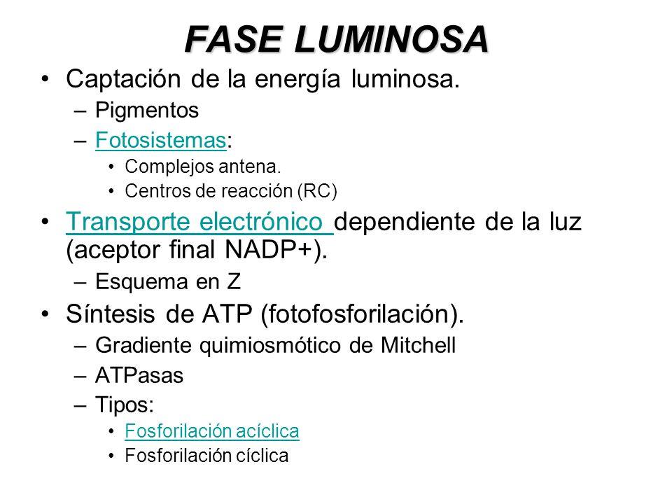 FASE LUMINOSA Captación de la energía luminosa. –Pigmentos –Fotosistemas:Fotosistemas Complejos antena. Centros de reacción (RC) Transporte electrónic