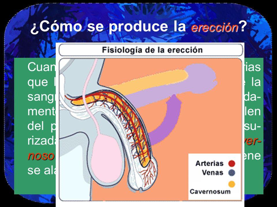 erección ¿Cómo se produce la erección ? el cuerpo caver- noso Cuando un hombre se excita, las arterias que llevan al pene se abren para que la sangre