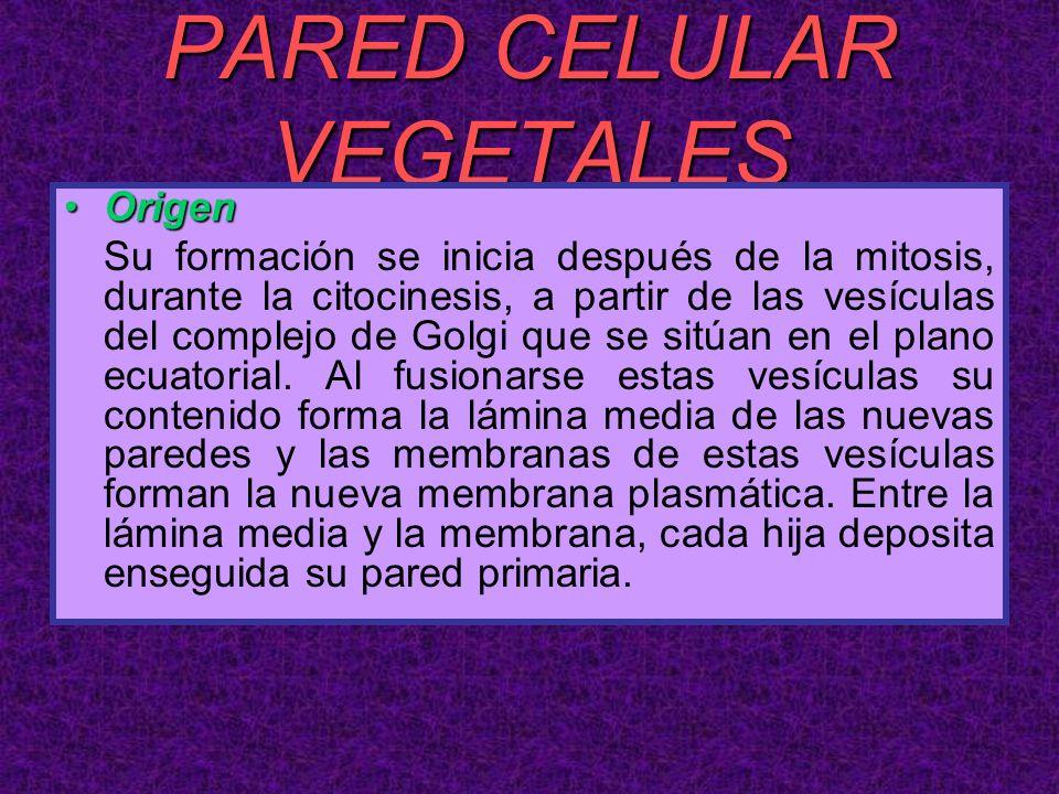 PARED CELULAR VEGETALES OrigenOrigen Su formación se inicia después de la mitosis, durante la citocinesis, a partir de las vesículas del complejo de G