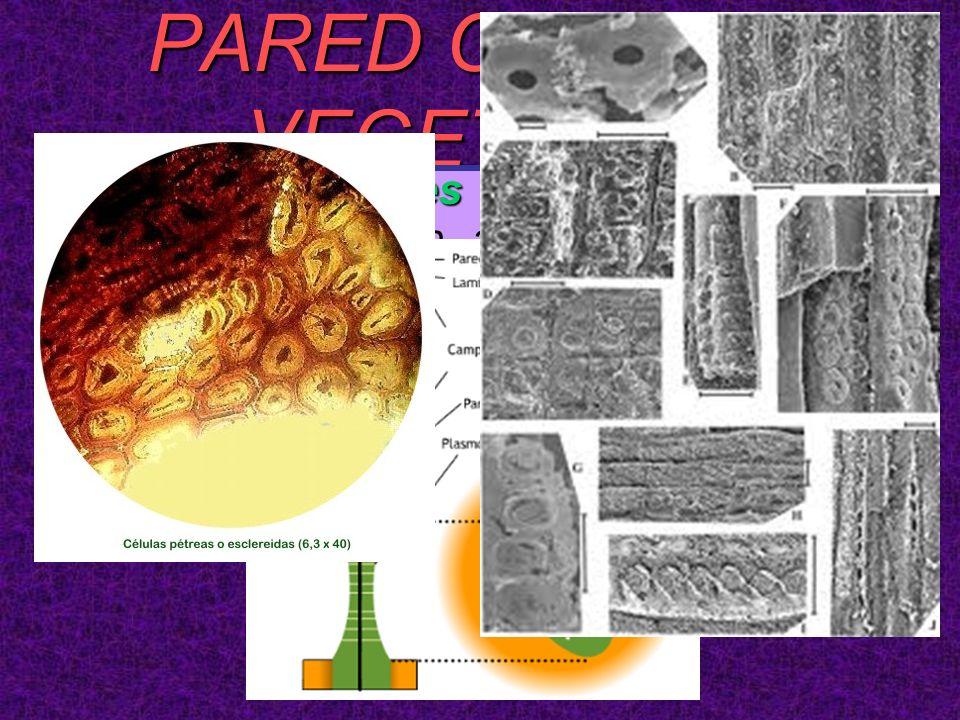PARED CELULAR VEGETALES EspecializacionesEspecializaciones –Punteaduras: son adelgazamientos de las paredes celulares. Cada punteadura consta de una c