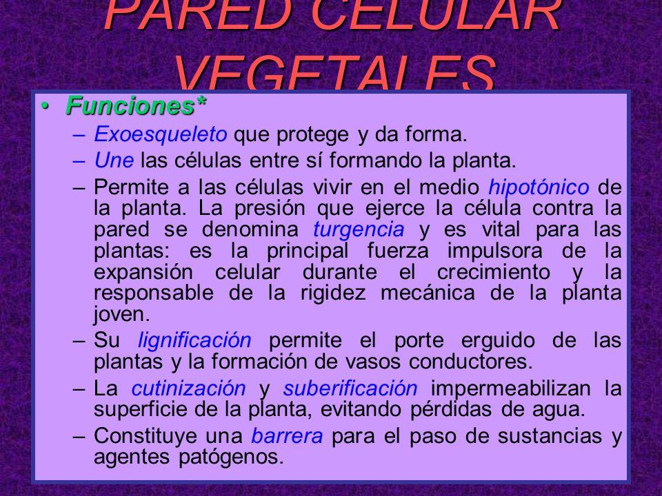 PARED CELULAR VEGETALES Funciones*Funciones* –Exoesqueleto que protege y da forma. –Une las células entre sí formando la planta. –Permite a las célula