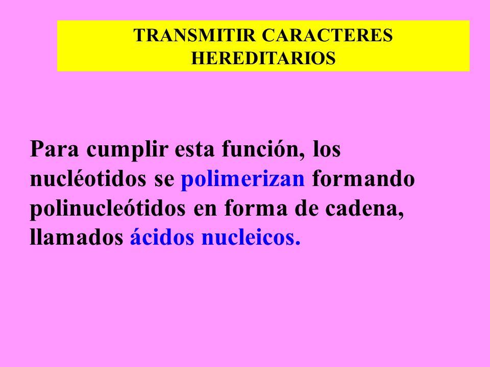 TRANSMITIR CARACTERES HEREDITARIOS Para cumplir esta función, los nucléotidos se polimerizan formando polinucleótidos en forma de cadena, llamados áci