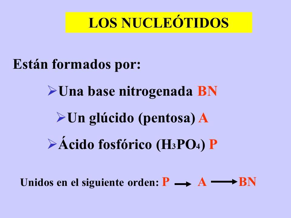 LOS NUCLEÓTIDOS Están formados por: Una base nitrogenada BN Un glúcido (pentosa) A Ácido fosfórico (H 3 PO 4 ) P Unidos en el siguiente orden: P A BN