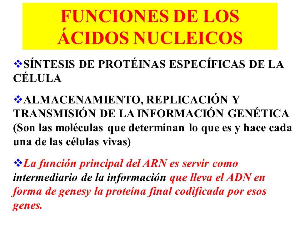 FUNCIONES DE LOS ÁCIDOS NUCLEICOS SÍNTESIS DE PROTÉINAS ESPECÍFICAS DE LA CÉLULA ALMACENAMIENTO, REPLICACIÓN Y TRANSMISIÓN DE LA INFORMACIÓN GENÉTICA