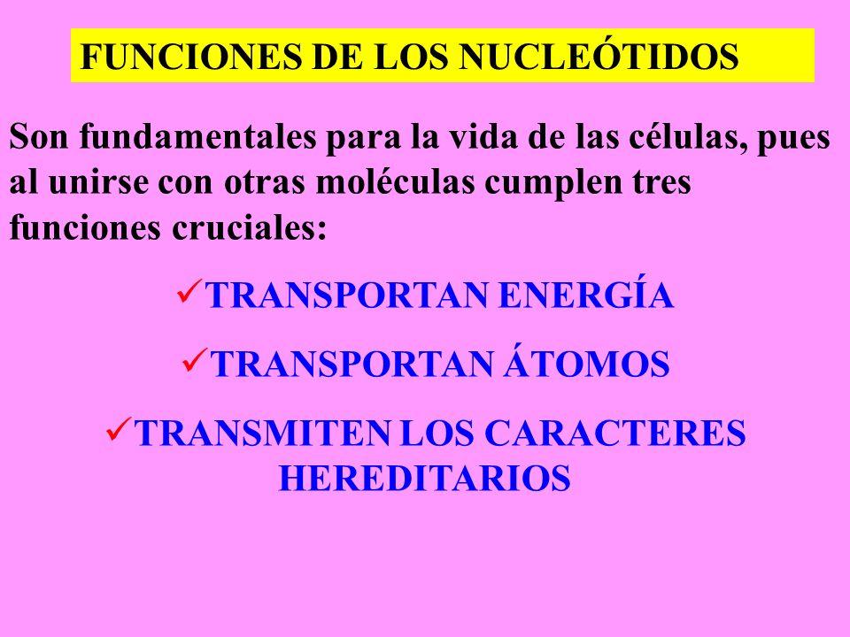 FUNCIONES DE LOS NUCLEÓTIDOS Son fundamentales para la vida de las células, pues al unirse con otras moléculas cumplen tres funciones cruciales: TRANS