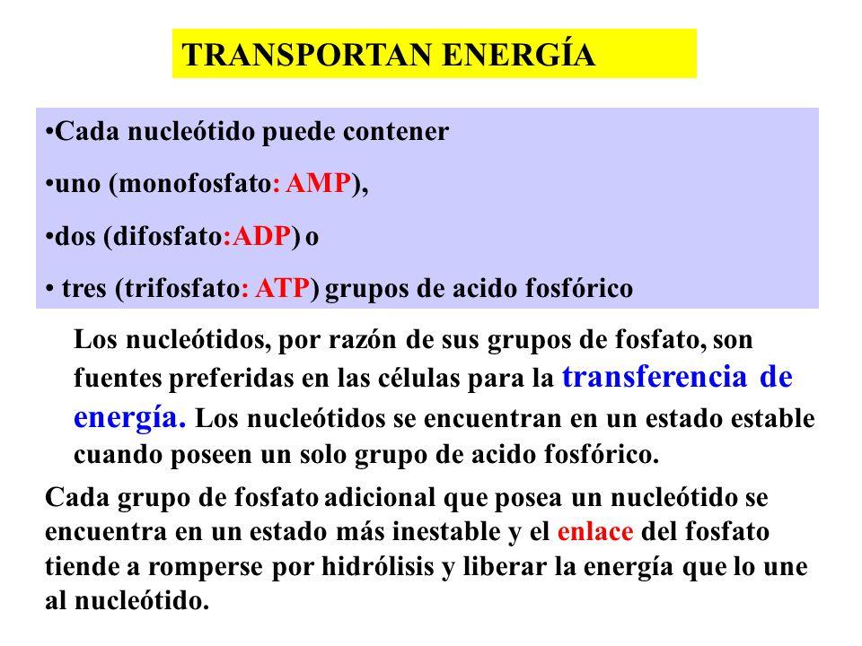 TRANSPORTAN ENERGÍA Cada nucleótido puede contener uno (monofosfato: AMP), dos (difosfato:ADP) o tres (trifosfato: ATP) grupos de acido fosfórico Los