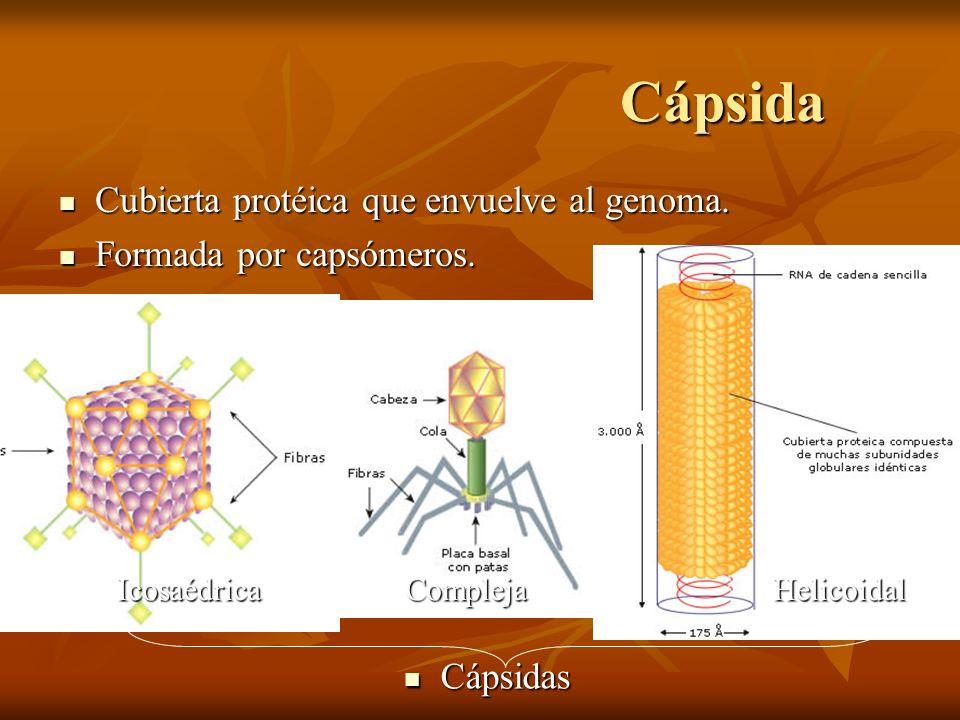 Cápsida Cubierta protéica que envuelve al genoma. Cubierta protéica que envuelve al genoma. Formada por capsómeros. Formada por capsómeros. Cápsidas C