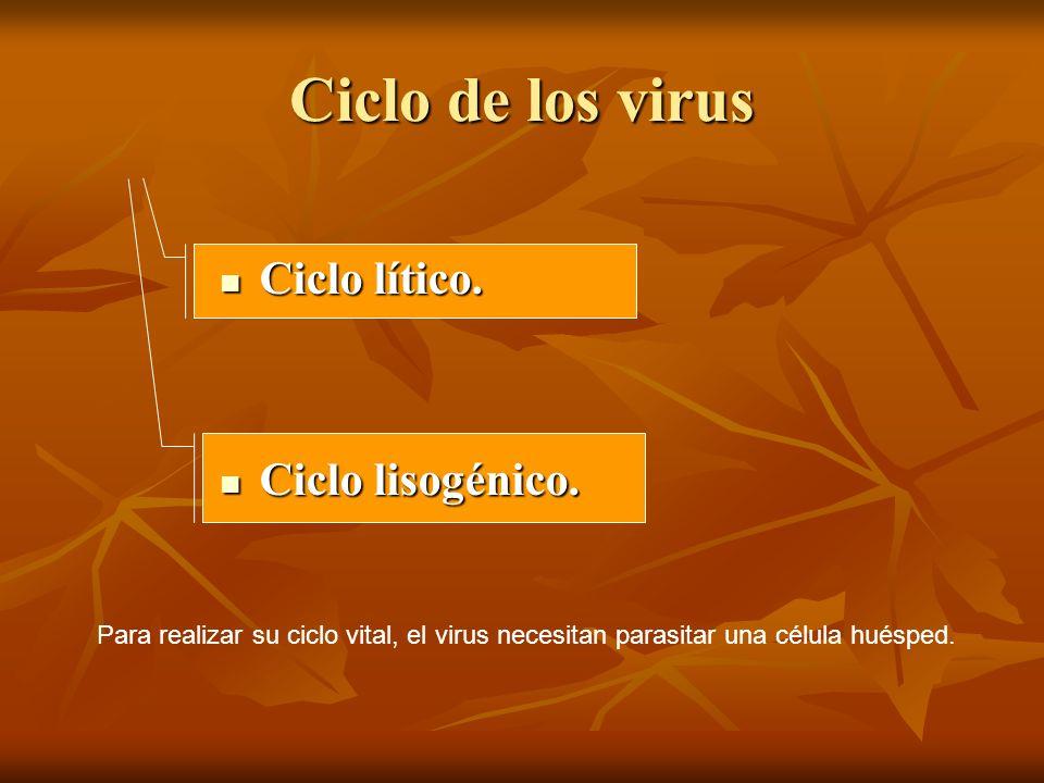 Ciclo de los virus Ciclo lítico. Ciclo lítico. Ciclo lisogénico. Ciclo lisogénico. Para realizar su ciclo vital, el virus necesitan parasitar una célu