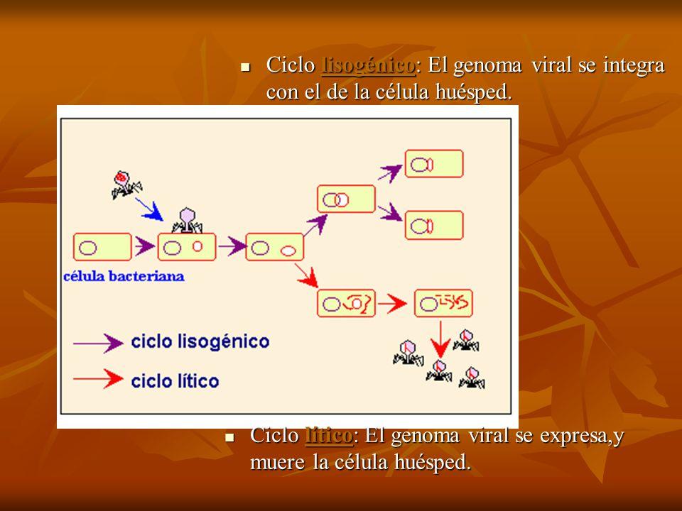 Ciclo lisogénico: El genoma viral se integra con el de la célula huésped. Ciclo lisogénico: El genoma viral se integra con el de la célula huésped. Ci