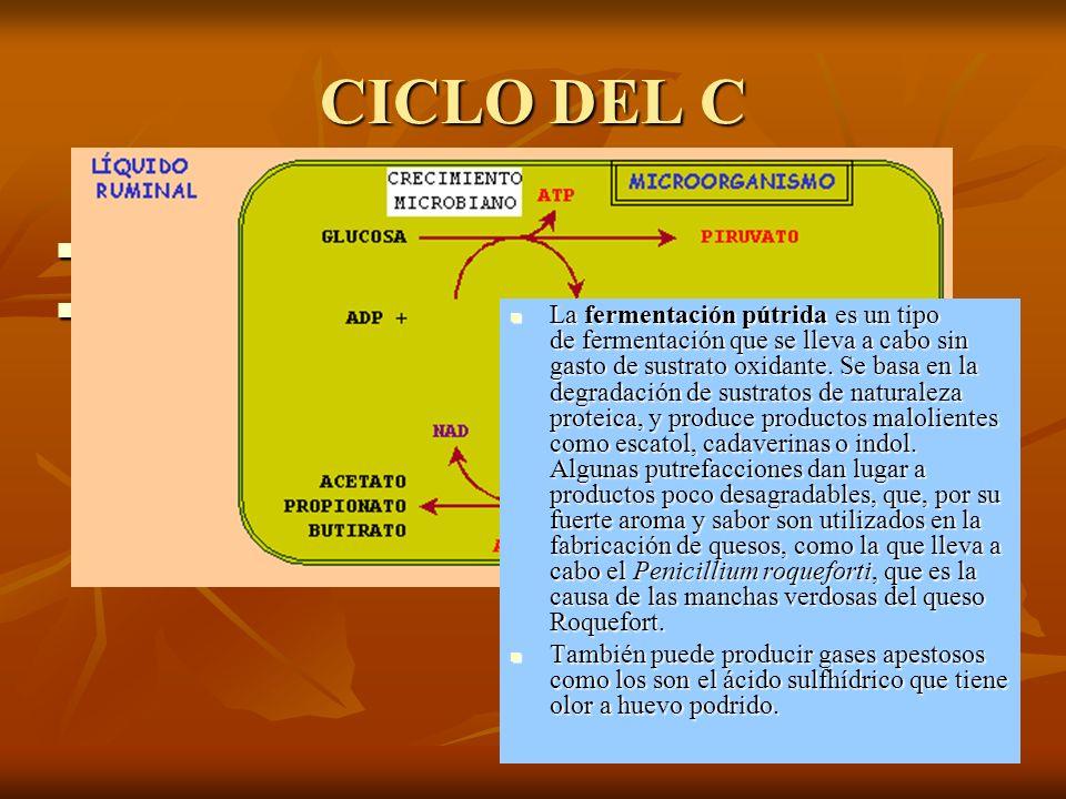 CICLO DEL C ¿Qué organismos fijan el CO 2 ? ¿Qué organismos fijan el CO 2 ? Bacterias descomponedoras: fermentación butírica (Bacillus amilobacter y C