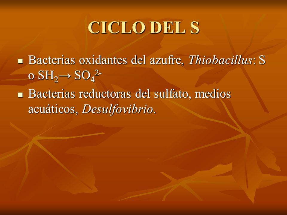 CICLO DEL S Bacterias oxidantes del azufre, Thiobacillus: S o SH 2 SO 4 2- Bacterias oxidantes del azufre, Thiobacillus: S o SH 2 SO 4 2- Bacterias re