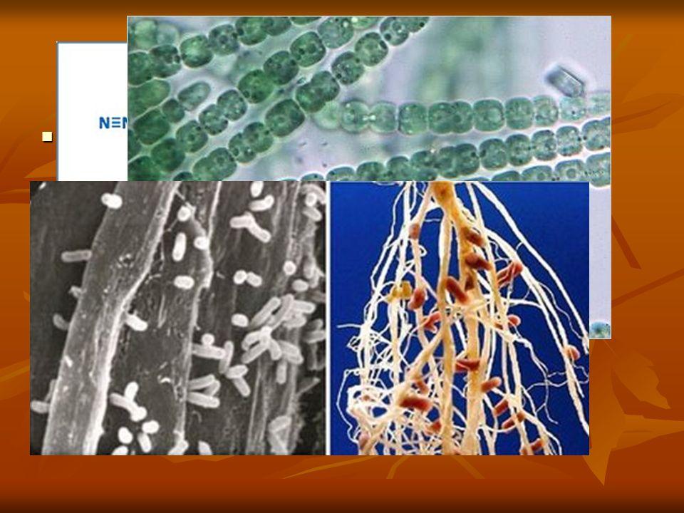 CICLO DEL N Bacterias fijadoras del nitrógeno: Bacterias fijadoras del nitrógeno: Vida libre: Vida libre: Aerobias obligadas: suelo, agua; Azobacter y