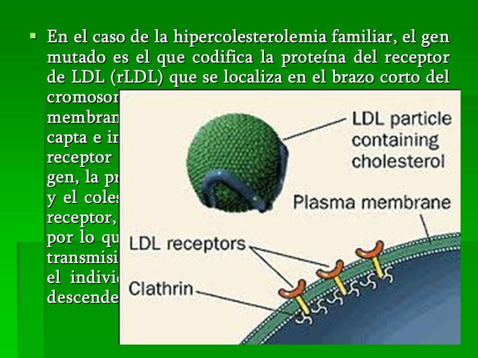 En el caso de la hipercolesterolemia familiar, el gen mutado es el que codifica la proteína del receptor de LDL (rLDL) que se localiza en el brazo cor