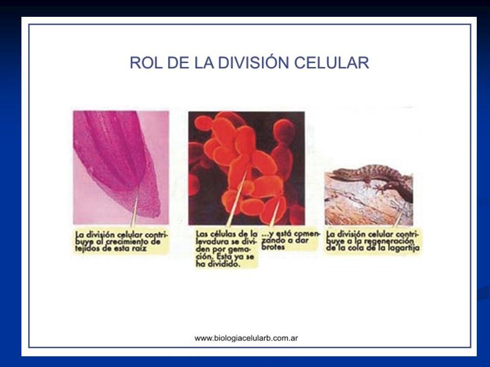 1ª DIVISIÓN MEIÓTICA o REDUCCIONAL PROFASE I Leptoteno : Los filamentos de cromatina se condensan y forman los cromosomas.