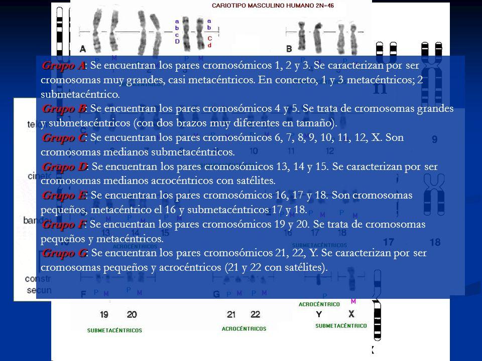 METAFASE Los cromosomas decondensados están rodeados por la membrana nuclear.