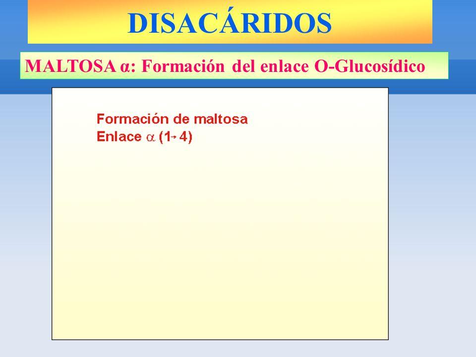 DISACÁRIDOS MALTOSA α: Formación del enlace O-Glucosídico