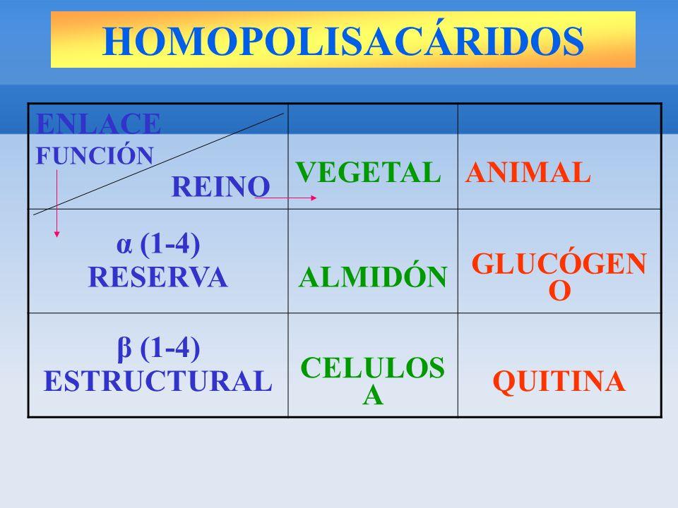 HOMOPOLISACÁRIDOS ENLACE FUNCIÓN REINO VEGETALANIMAL α (1-4) RESERVAALMIDÓN GLUCÓGEN O β (1-4) ESTRUCTURAL CELULOS A QUITINA