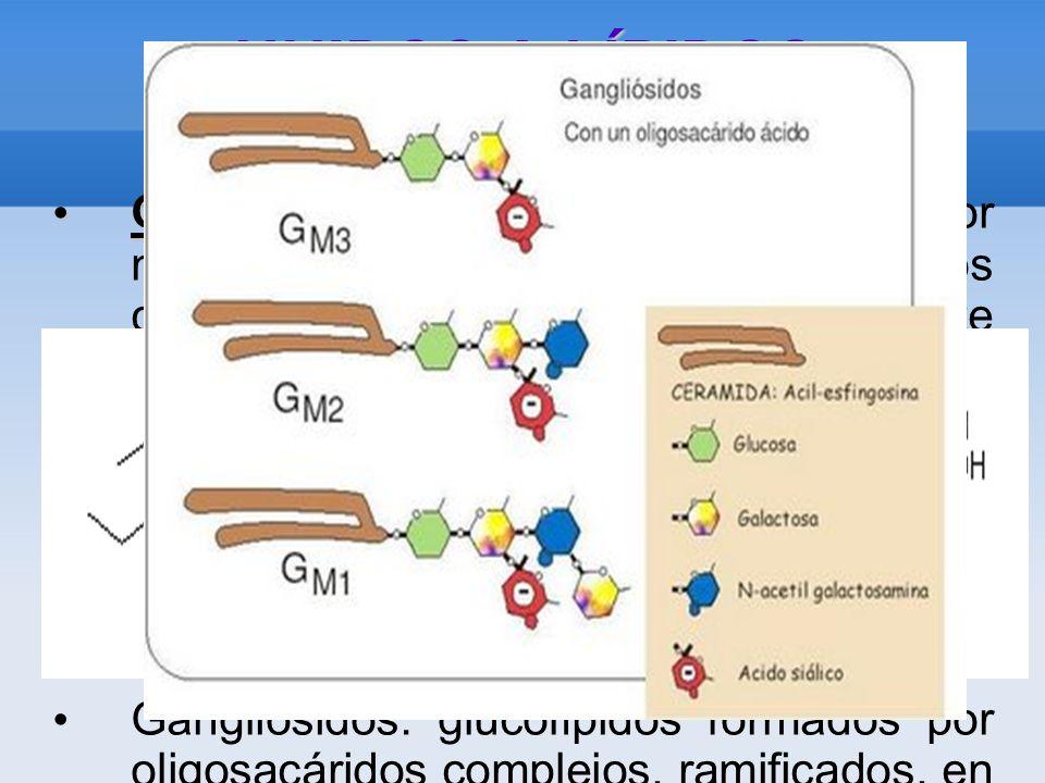UNIDOS A LÍPIDOS Glucolípidos Glucolípidos: están constituidos por mono o polisacáridos unidos covalentemente a lípidos.