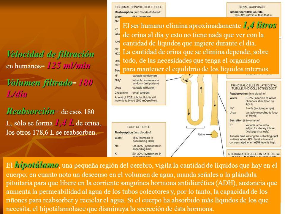 Velocidad de filtración 125 ml/min Velocidad de filtración en humanos= 125 ml/min Volumen filtrado180 L/día Volumen filtrado = 180 L/día Reabsorción 1