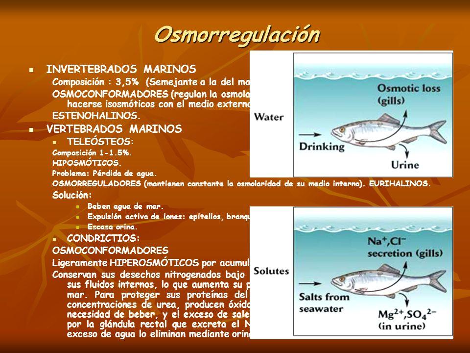 Osmorregulación INVERTEBRADOS MARINOS Composición : 3,5% (Semejante a la del mar) OSMOCONFORMADORES (regulan la osmolaridad de su líquido intracelular
