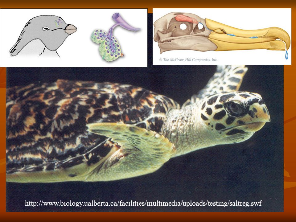 http://www.biology.ualberta.ca/facilities/multimedia/uploads/testing/saltreg.swf