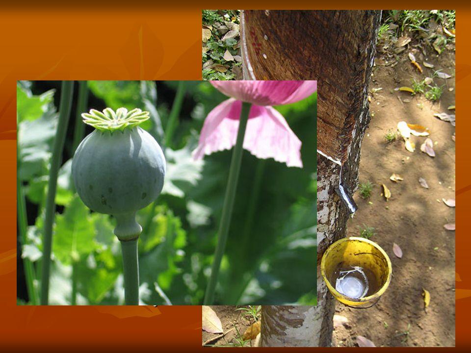 El látex es el jugo propio de muchos vegetales, especialmente de las familias de las euforbiáceas y moráceas, que circula por los vasos laticíferos. E