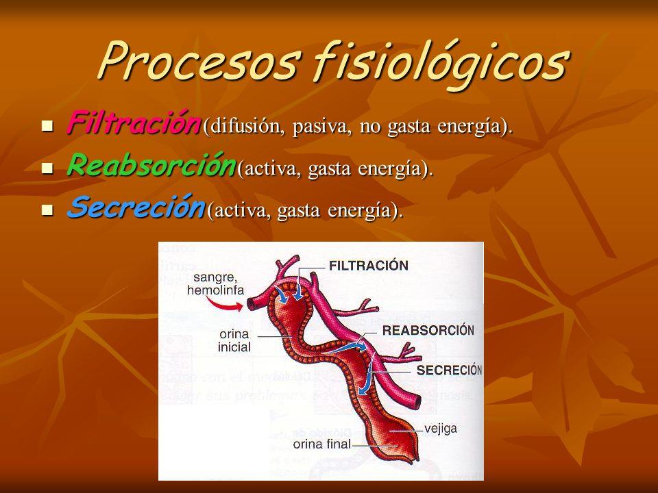 Procesos fisiológicos Filtración (difusión, pasiva, no gasta energía). Filtración (difusión, pasiva, no gasta energía). Reabsorción (activa, gasta ene