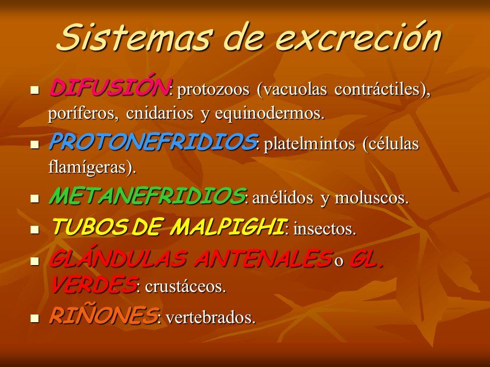 Sistemas de excreción DIFUSIÓN : protozoos (vacuolas contráctiles), poríferos, cnidarios y equinodermos. DIFUSIÓN : protozoos (vacuolas contráctiles),