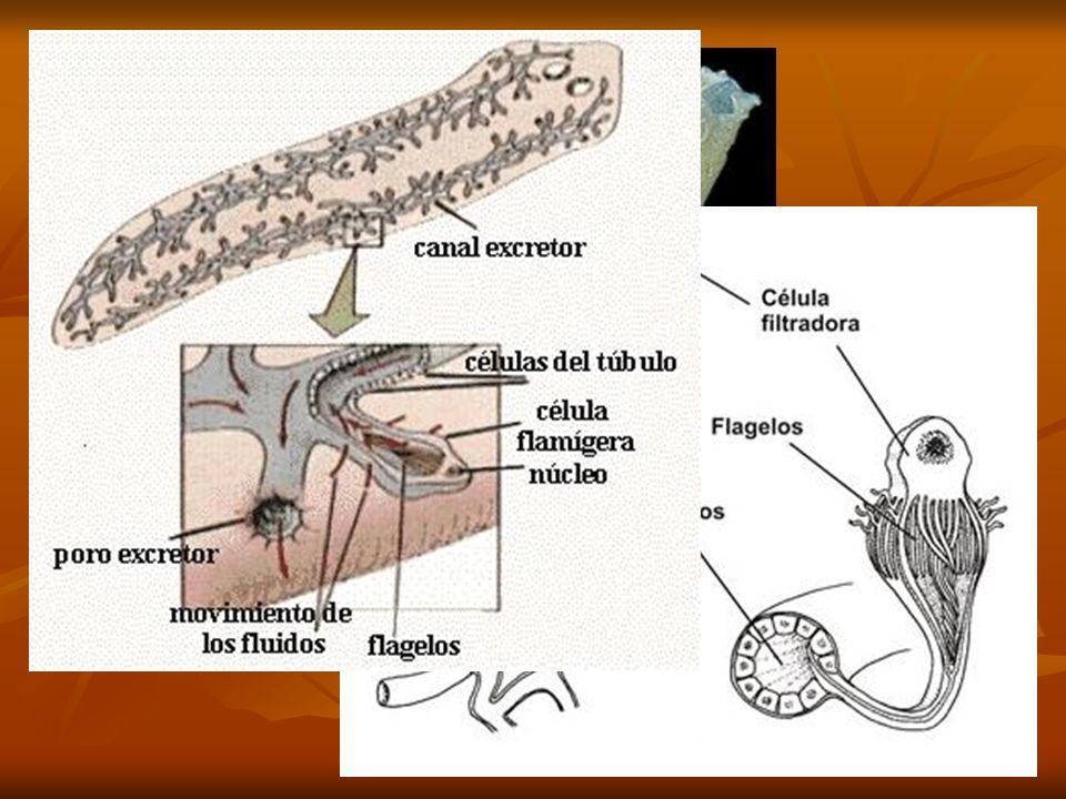 Osmorregulación VERTEBRADOS MARINOS REPTILES, AVES: Beben / Glándulas sal.