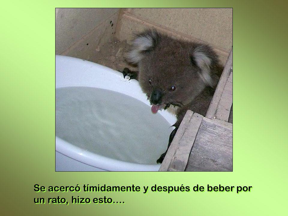Hasta una casa se acercó otro koala, pidiendo agua. Hasta una casa se acercó otro koala, pidiendo agua. Le pusieron un recipiente con agua fresca, mir