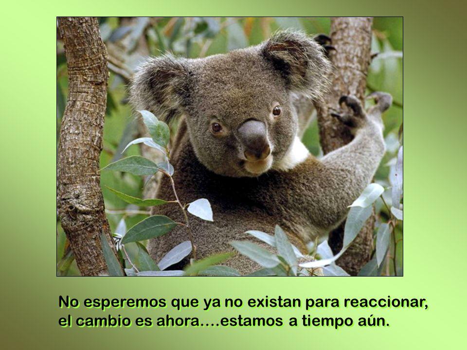 KOALA La destrucción de los bosques, el cambio climático, el calentamiento global, el accionar humano esta diezmando la vida salvaje. La destrucción d