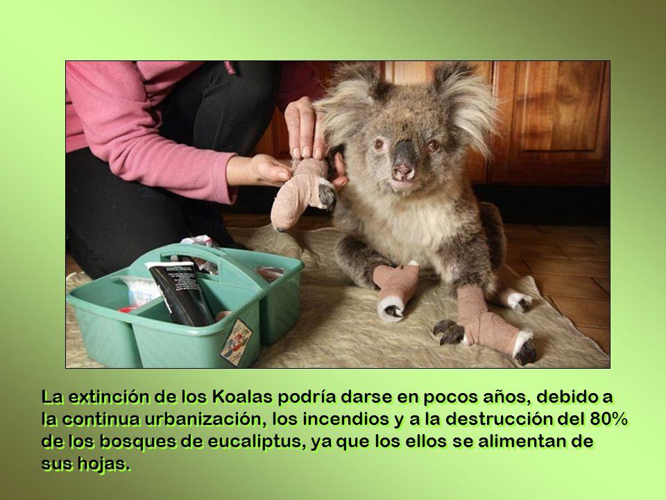 La extinción de los Koalas podría darse en pocos años, debido a la continua urbanización, los incendios y a la destrucción del 80% de los bosques de eucaliptus, ya que los ellos se alimentan de sus hojas.