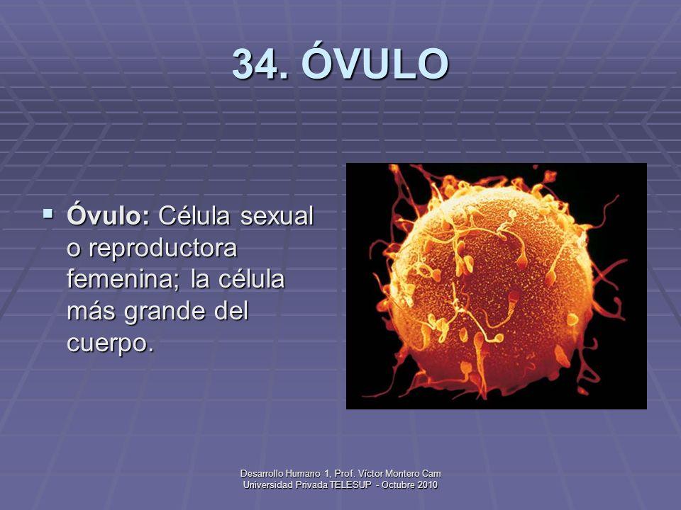 Desarrollo Humano 1, Prof. Víctor Montero Cam Universidad Privada TELESUP - Octubre 2010 33. OVULACIÓN Ovulación: Expulsión del óvulo por el ovario, q