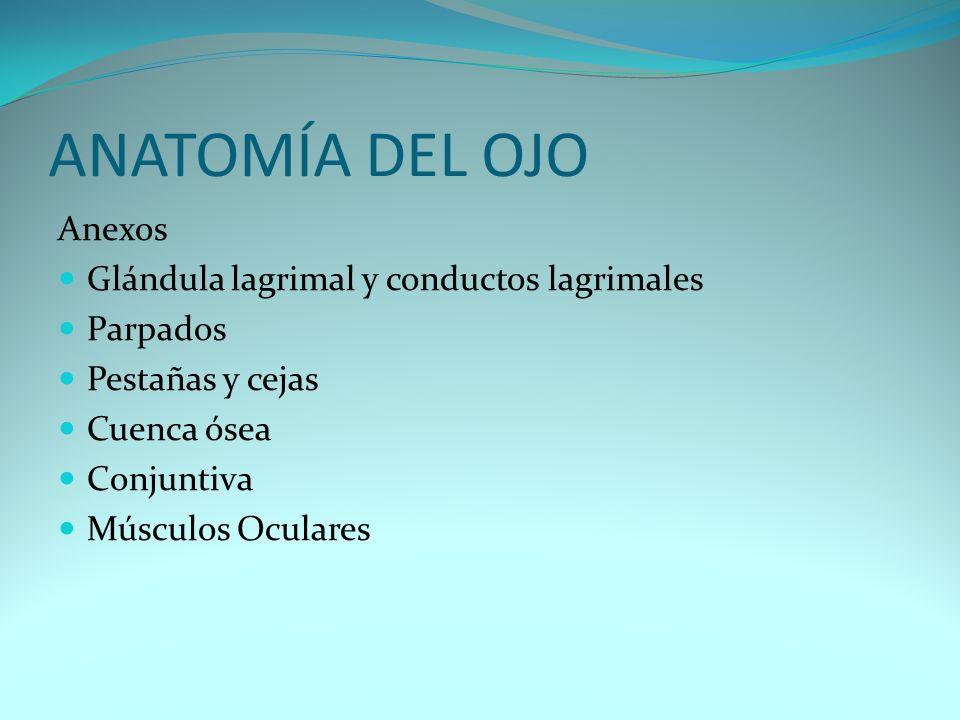 ANATOMÍA DEL OJO Anexos Glándula lagrimal y conductos lagrimales Parpados Pestañas y cejas Cuenca ósea Conjuntiva Músculos Oculares