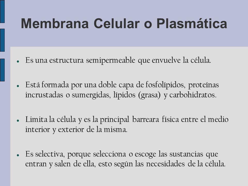 Membrana Celular o Plasmática Es una estructura semipermeable que envuelve la célula.