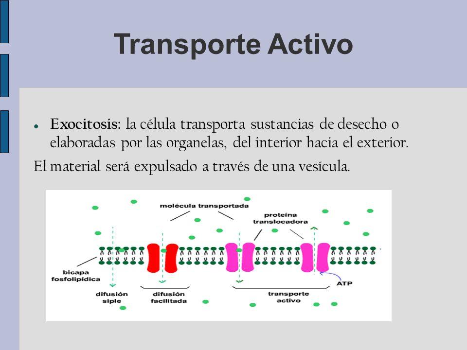 Transporte Activo Exocitosis: la célula transporta sustancias de desecho o elaboradas por las organelas, del interior hacia el exterior.