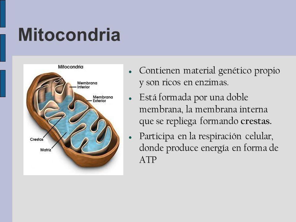 Mitocondria Contienen material genético propio y son ricos en enzimas.
