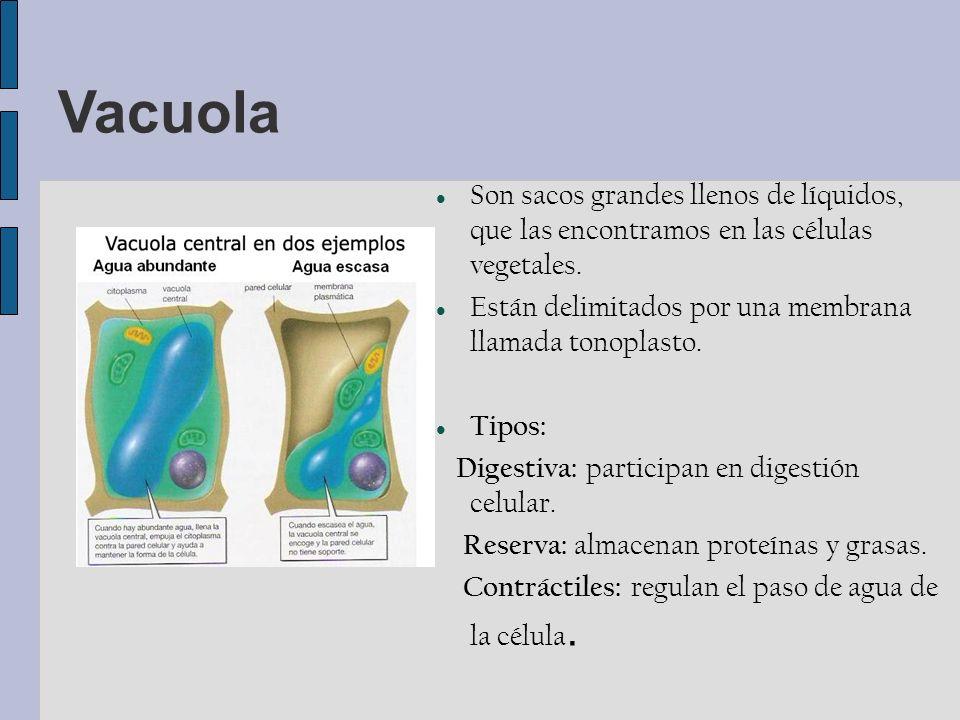 Vacuola Son sacos grandes llenos de líquidos, que las encontramos en las células vegetales.
