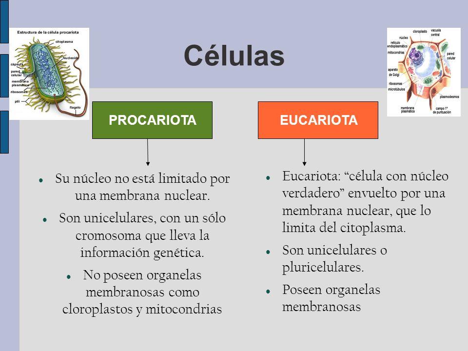 Células EUCARIOTAPROCARIOTA Su núcleo no está limitado por una membrana nuclear.